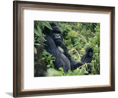 Adult Male Mountain Gorilla-Michael Nichols-Framed Photographic Print