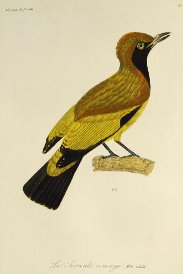 Adult Male of Masked Bowerbird (Sericulus Aureus)--Giclee Print