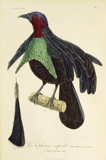 Adult Male of Superb Bird-Of-Paradise (Lophorina Superba)--Giclee Print