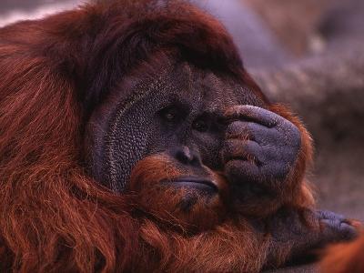 Adult Male Orangutan Thinking-DLILLC-Photographic Print