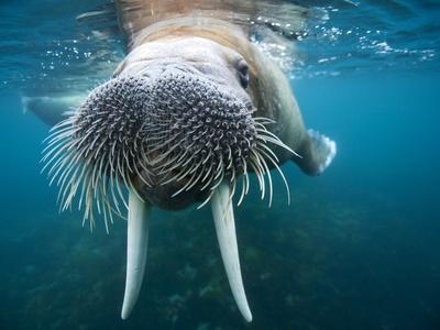 Adult Male Walrus, Lagoya, Svalbard, Norway-Paul Souders-Photographic Print
