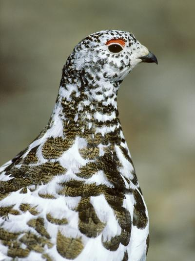 Adult Male White-tiled Ptarmigan (Lagopus Leucurus) in Late Spring Plumage, Northern Rocky Mountain-Wayne Lynch-Photographic Print