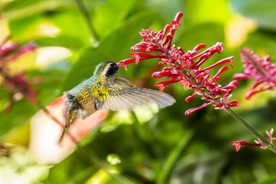 Adult Male Xantus's Hummingbird (Hylocharis Xantusii), Todos Santos, Baja California Sur-Michael Nolan-Photographic Print