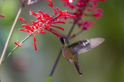 https://imgc.artprintimages.com/img/print/adult-male-xantus-s-hummingbird-hylocharis-xantusii-todos-santos-baja-california-sur_u-l-q12rcxc0.jpg?artPerspective=n