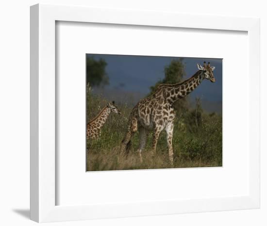 Adult Masai Giraffe and Calf-Michael Nichols-Framed Photographic Print