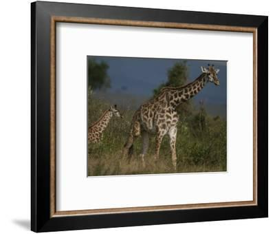 Adult Masai Giraffe and Calf-Michael Nichols-Framed Photographic Print
