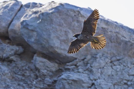 Adult Peregrine Falcon (Falco Peregrinus), Isla Rasa, Gulf of California, Baja California, Mexico-Michael Nolan-Photographic Print