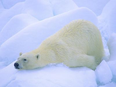 Adult Polar Bear (Ursus Maritimus) Cleaning Its Fur on the Snow. Svalbard, Arctic Norway.-Wayne Lynch-Photographic Print
