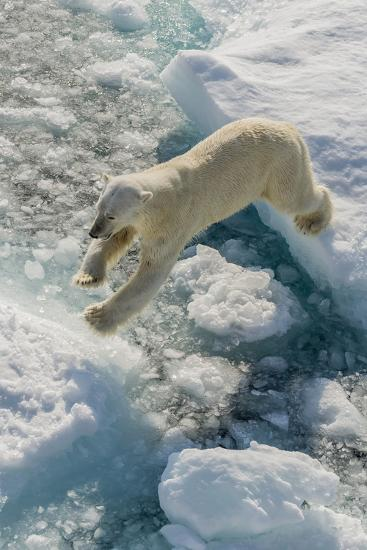 Adult Polar Bear (Ursus Maritimus) on Ice Floe-Michael-Photographic Print