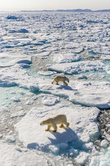 Adult Polar Bears (Ursus Maritimus)-Michael-Photographic Print