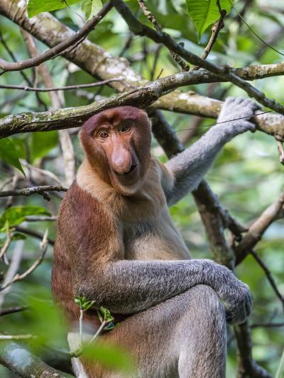 Adult Proboscis Monkey (Nasalis Larvatus) Foraging in Bako National Park, Sarawak, Borneo, Malaysia-Michael Nolan-Photographic Print