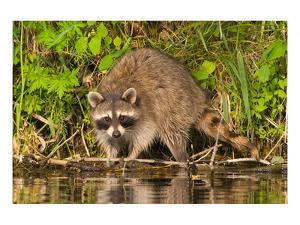 Adult Raccoon Hunting for Food