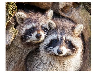 Adult Raccoon Nest Closeup--Art Print