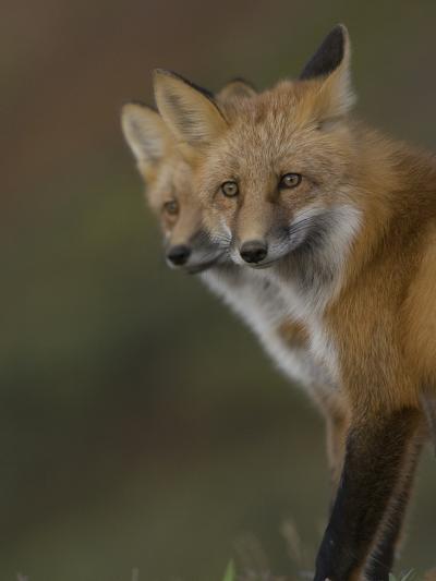 Adult Red Fox (Vulpes Vulpes) in Alaska-Michael S^ Quinton-Photographic Print