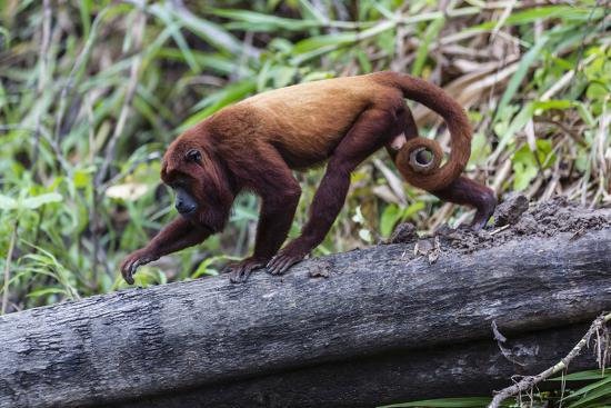 Adult red howler monkey (Alouatta seniculus), San Miguel Cao, Loreto, Peru, South America-Michael Nolan-Photographic Print