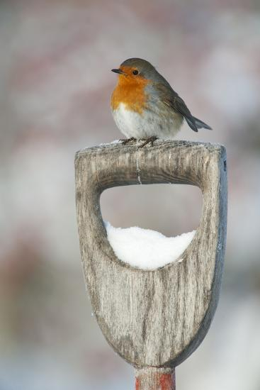Adult Robin (Erithacus Rubecula) Perched on Spade Handle in the Snow in Winter, Scotland, UK-Mark Hamblin-Photographic Print