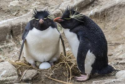 Adult Rockhopper Penguins (Eudyptes Chrysocome) at Nesting Site on New Island, Falkland Islands-Michael Nolan-Photographic Print