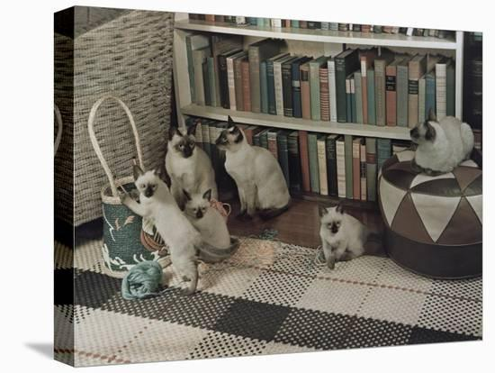 Adult Siamese Cats Watch as their Young Play with Yarn-Willard Culver-Stretched Canvas Print