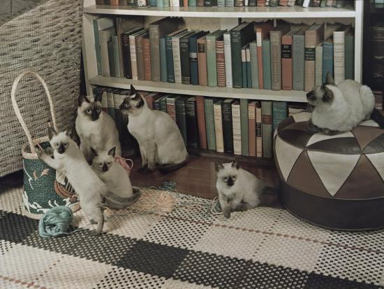 Adult Siamese Cats Watch as their Young Play with Yarn-Willard Culver-Photographic Print