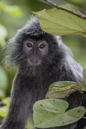 https://imgc.artprintimages.com/img/print/adult-silvery-langur-trachypithecus-cristatus-silvered-leaf-monkey-malaysia_u-l-q12se320.jpg?p=0