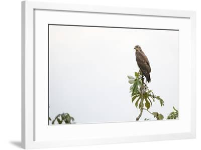 Adult snail kite (Rostrhamus sociabilis), in the Pacaya Samiria Preserve, Loreto, Peru-Michael Nolan-Framed Photographic Print
