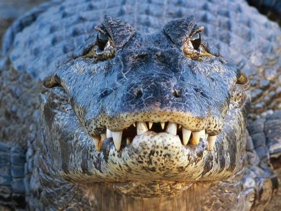 Adult Spectacled Caiman in Brazil-Theo Allofs-Photographic Print