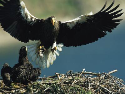 Adult Stellers Sea Eagle Flies to its Nest and Waiting Eaglet-Klaus Nigge-Photographic Print
