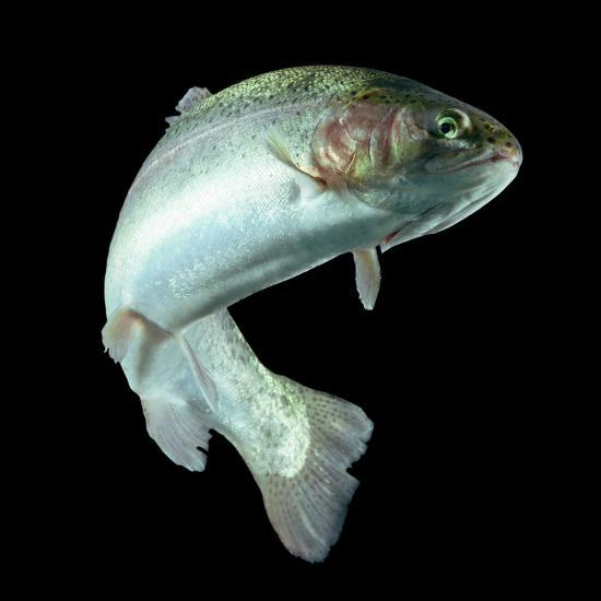 ADULT TROUT FISH ISOLATED ON BLACK-Ammit Jack-Photographic Print