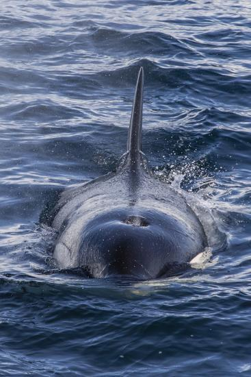 Adult Type a Killer Whale (Orcinus Orca) Surfacing in the Gerlache Strait, Antarctica-Michael Nolan-Photographic Print