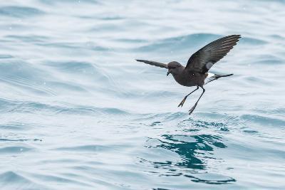 Adult Wilson's Storm Petrel (Oceanites Oceanicus), South Georgia, Polar Regions-Michael Nolan-Photographic Print