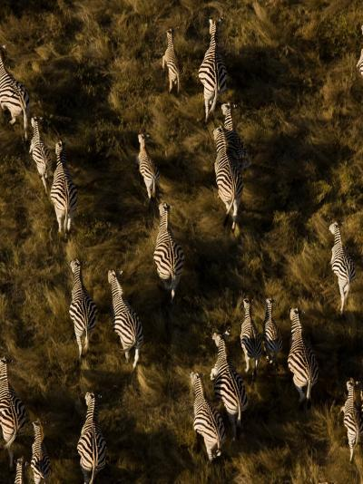 Aerial of a Herd of Burchell's Zebras Walking Through Grasslands-Beverly Joubert-Photographic Print