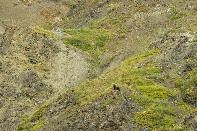Aerial View of a Distant Grizzly Bear on Green, Rocky Terrain-Barrett Hedges-Photographic Print