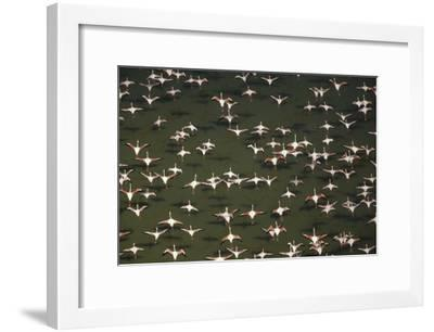 Aerial view of a mixed flock of Lesser Flamingo group Kenya, Africa-Tim Fitzharris-Framed Art Print