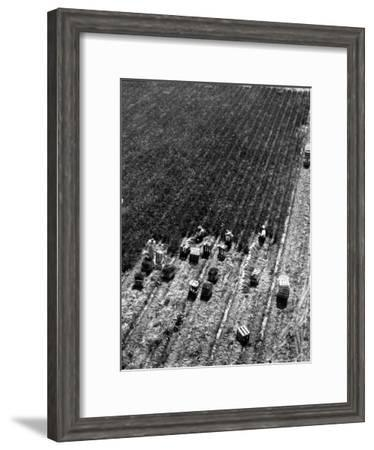 Aerial View of Farm Workers Harvesting Onion Crop-Margaret Bourke-White-Framed Premium Photographic Print