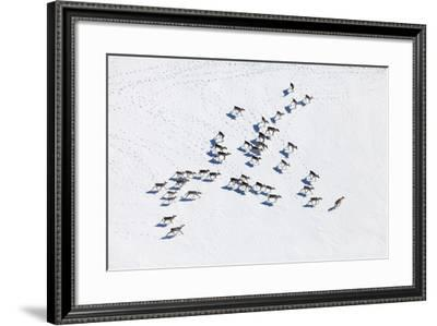 Aerial View of Herd of Reindeer, Which Ran on Snow in Tundra.-Vladimir Melnikov-Framed Photographic Print
