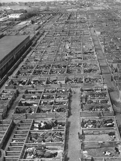 Aerial View of Pens Containing Beef Cattle at the Union Stockyards--Photographic Print