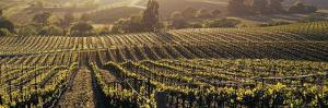 Aerial View of Rows Crop in a Vineyard, Careros Valley, California, USA