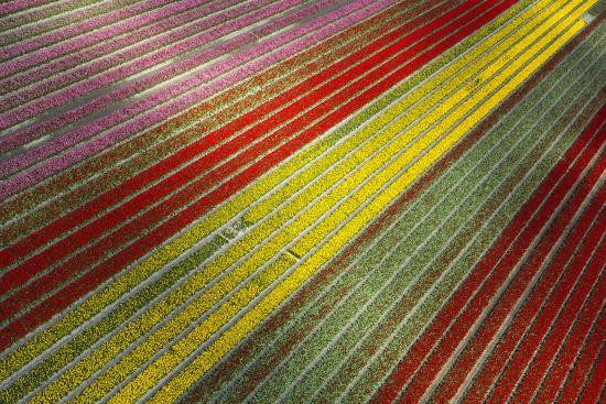 Aerial view of the tulip fields in North Holland, Netherlands-Peter Adams-Photographic Print