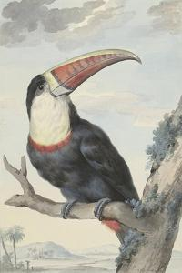 White-Throated Toucan by Aert Schouman