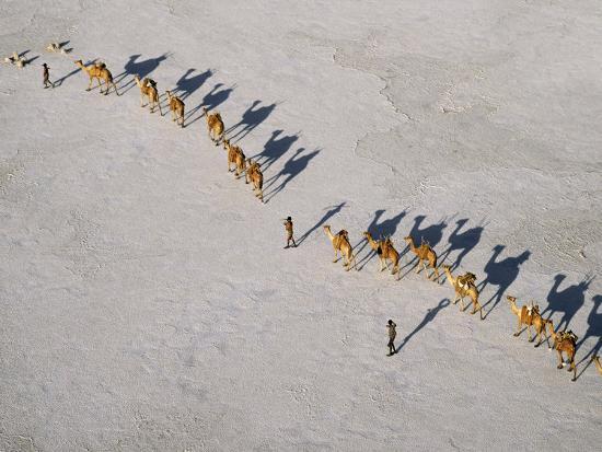 Afar Camel Caravan Crosses the Salt Flats of Lake Assal, Djibouti, as Shadows Lengthen in the Late -Nigel Pavitt-Photographic Print