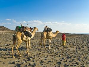 Afar Tribeswoman With Camels on Her Way Home, Near Lac Abbe, Republic of Djibouti, Africa