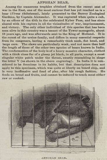 Afghan Bear--Giclee Print