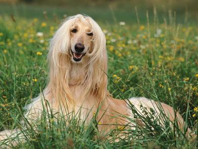 Afghan Hound Lying in Grass-Adriano Bacchella-Photographic Print