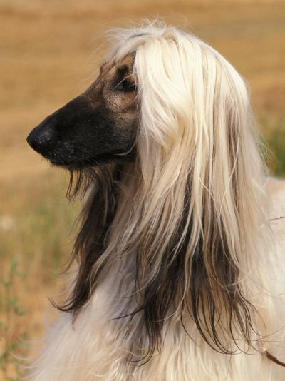Afghan Hound Profile-Adriano Bacchella-Photographic Print
