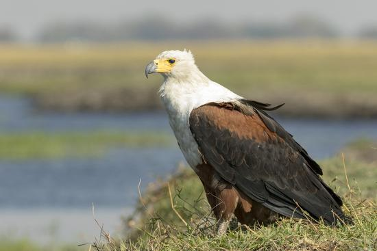 Africa, Botswana, Chobe National Park. Close-up of fish eagle on grass.-Jaynes Gallery-Photographic Print