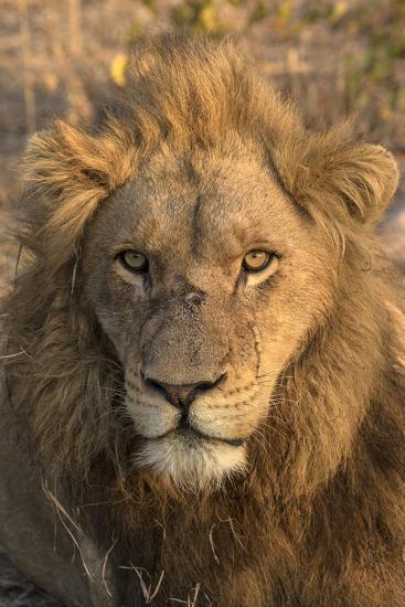 Africa, Botswana, Savuti Game Reserve. Male Lion Close-Up-Jaynes Gallery-Photographic Print