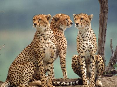 Africa, Cheetah in Kenya, Acinonyx Jubatus--Photographic Print