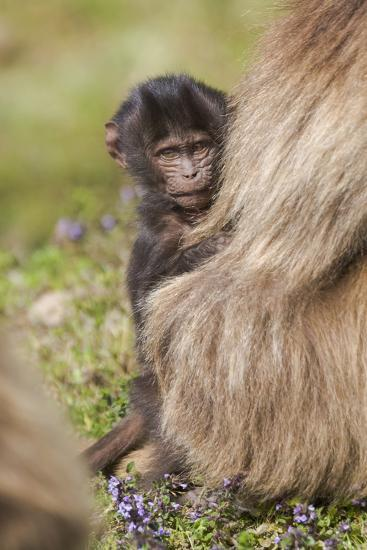 Africa, Ethiopia, Ethiopian Highlands, Western Amhara, Simien Mountains National Park-Ellen Goff-Photographic Print