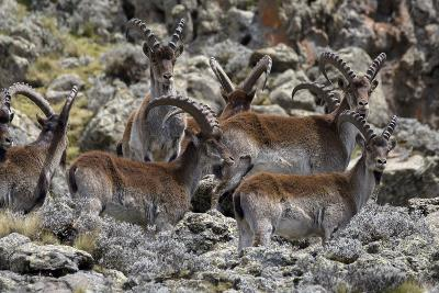 Africa, Ethiopian Highlands, Western Amhara, Simien Mountains National Park. Group of Walia Ibex-Ellen Goff-Photographic Print
