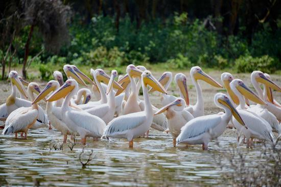 Africa: Kenya: a Flock of Yellow Beaked Pelican Looks Out for Food-Lindsay Constable-Photographic Print